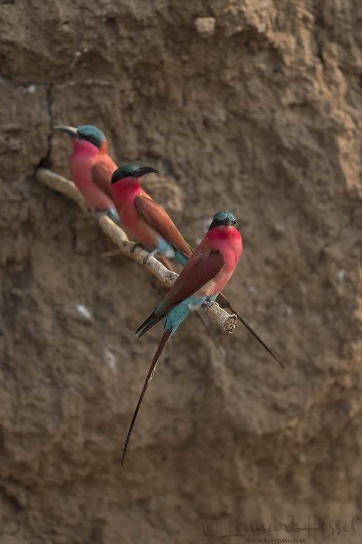 Southern Carmine Bee-eaters Zambezi river