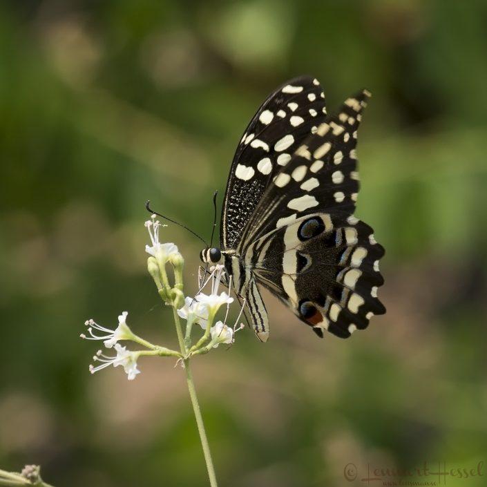 Citrus Swallowtail Kafue river