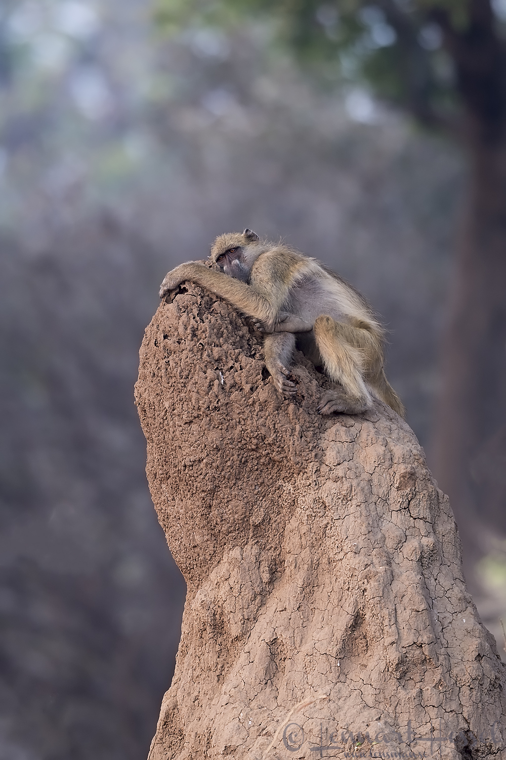 Tired Chcma Baboon Mana Pools National Park