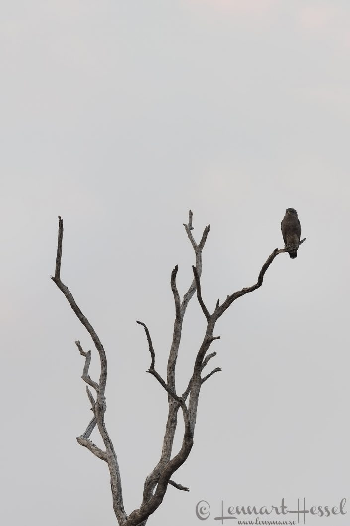 Western Banded Snake-Eagle Mana Pools National Park