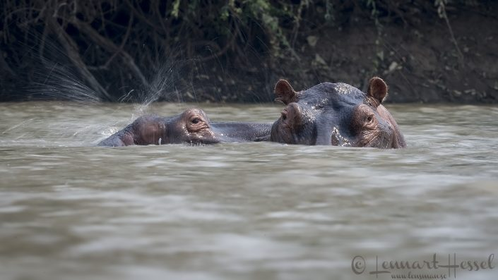 Hippos at Long pool Mana Pools National Park