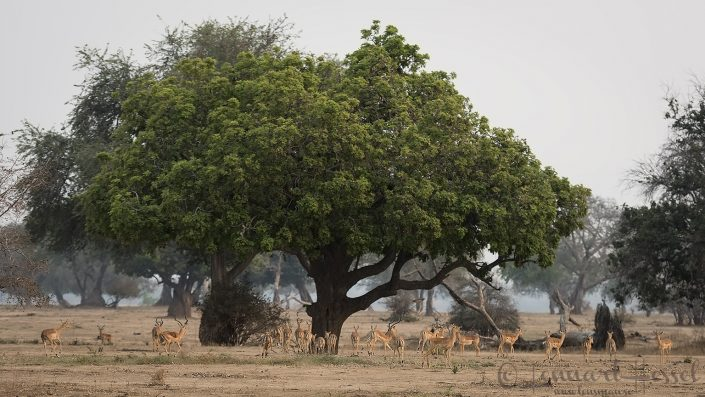 Impala herd Mana Pools National Park