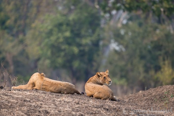 Lionesses Mana Pools National Park