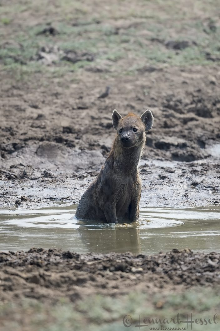 """Spotted Hyena """"matriarch"""" Mana Pools National Park"""