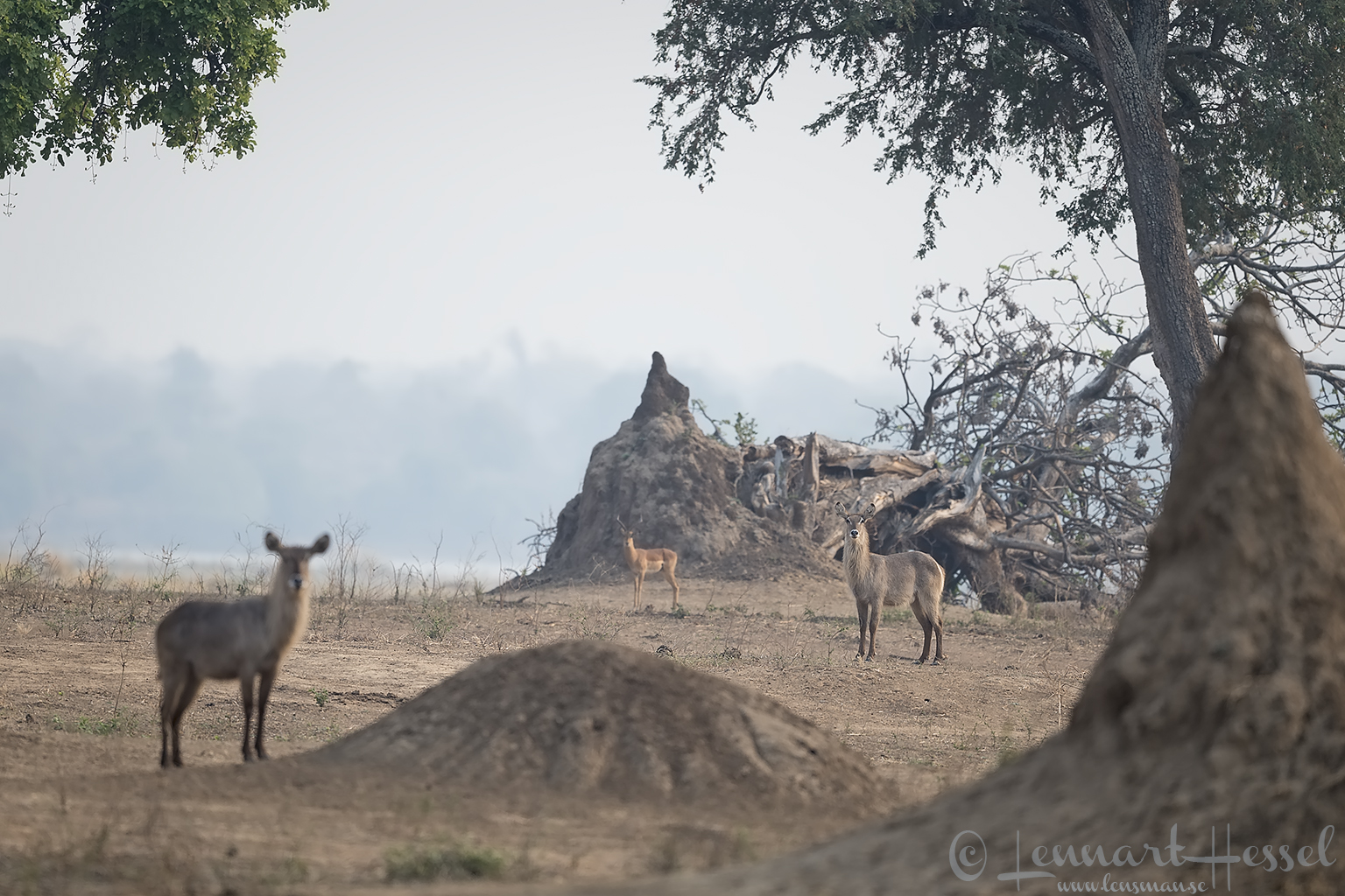 Waterbucks and Impala Mana Pools National Park