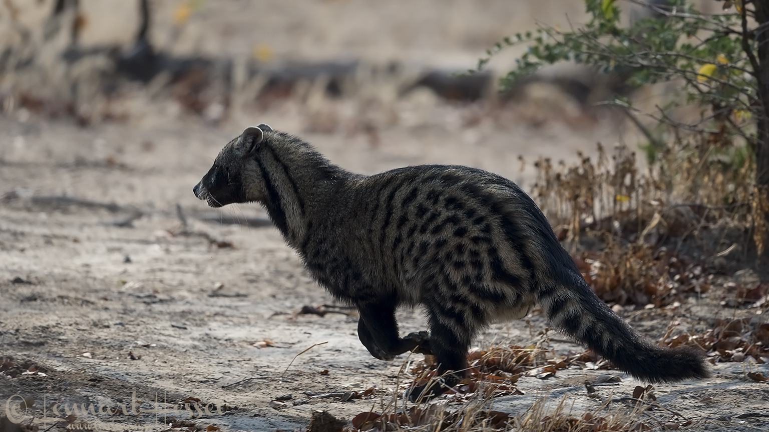 African Civet Mana Pools National Park