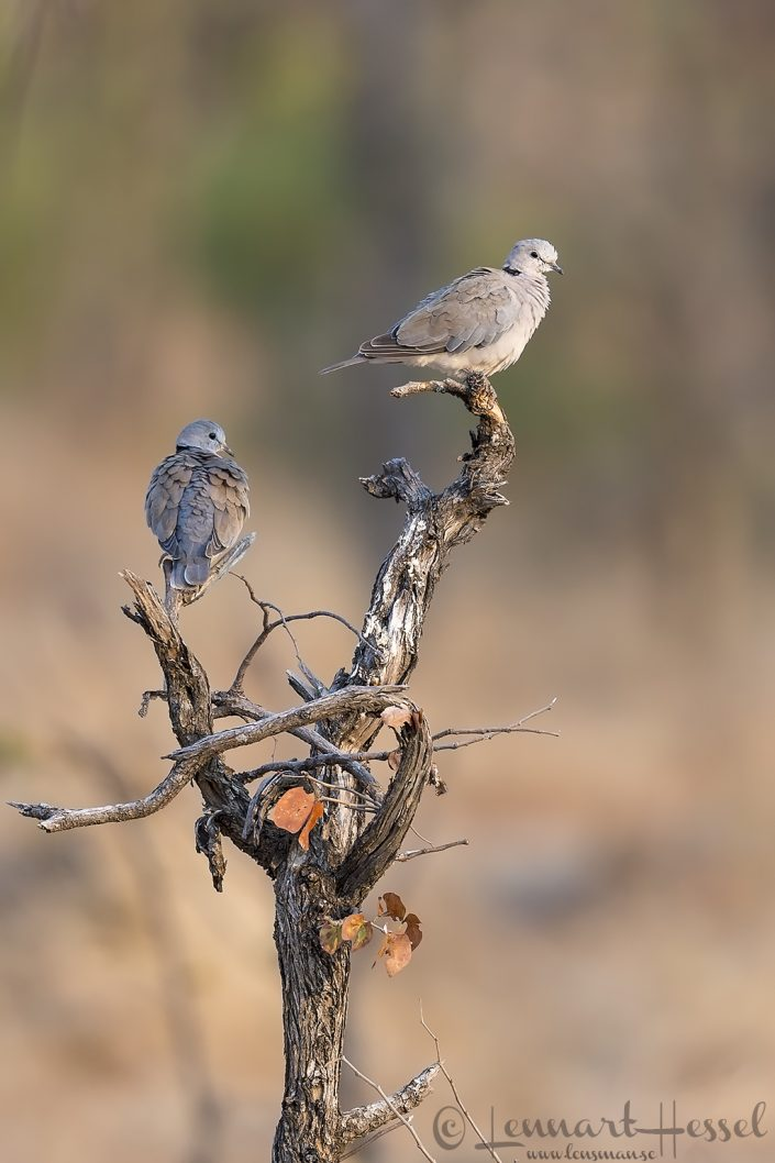 African Collared Doves Mana Pools National Park