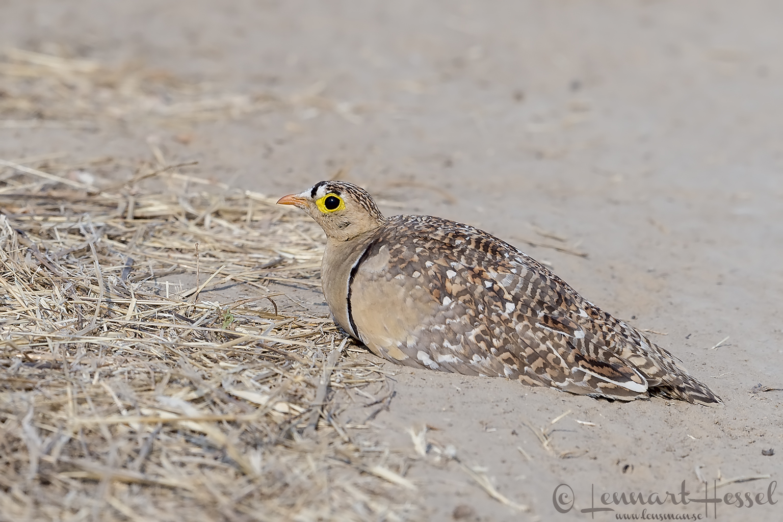 Double-banded Sandgrouse Mana Pools National Park