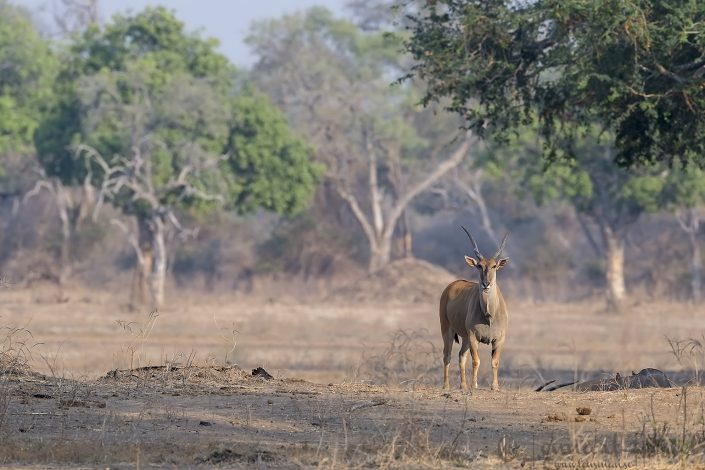 Eland Mana Pools National Park