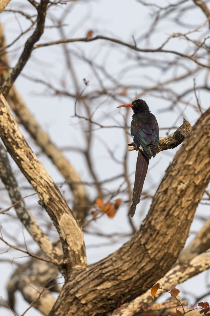 Green Wood Hoopoe Mana Pools National Park
