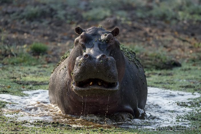 Angry Hippo Mana Pools National Park