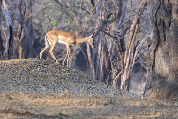 Impala Mana Pools National Park
