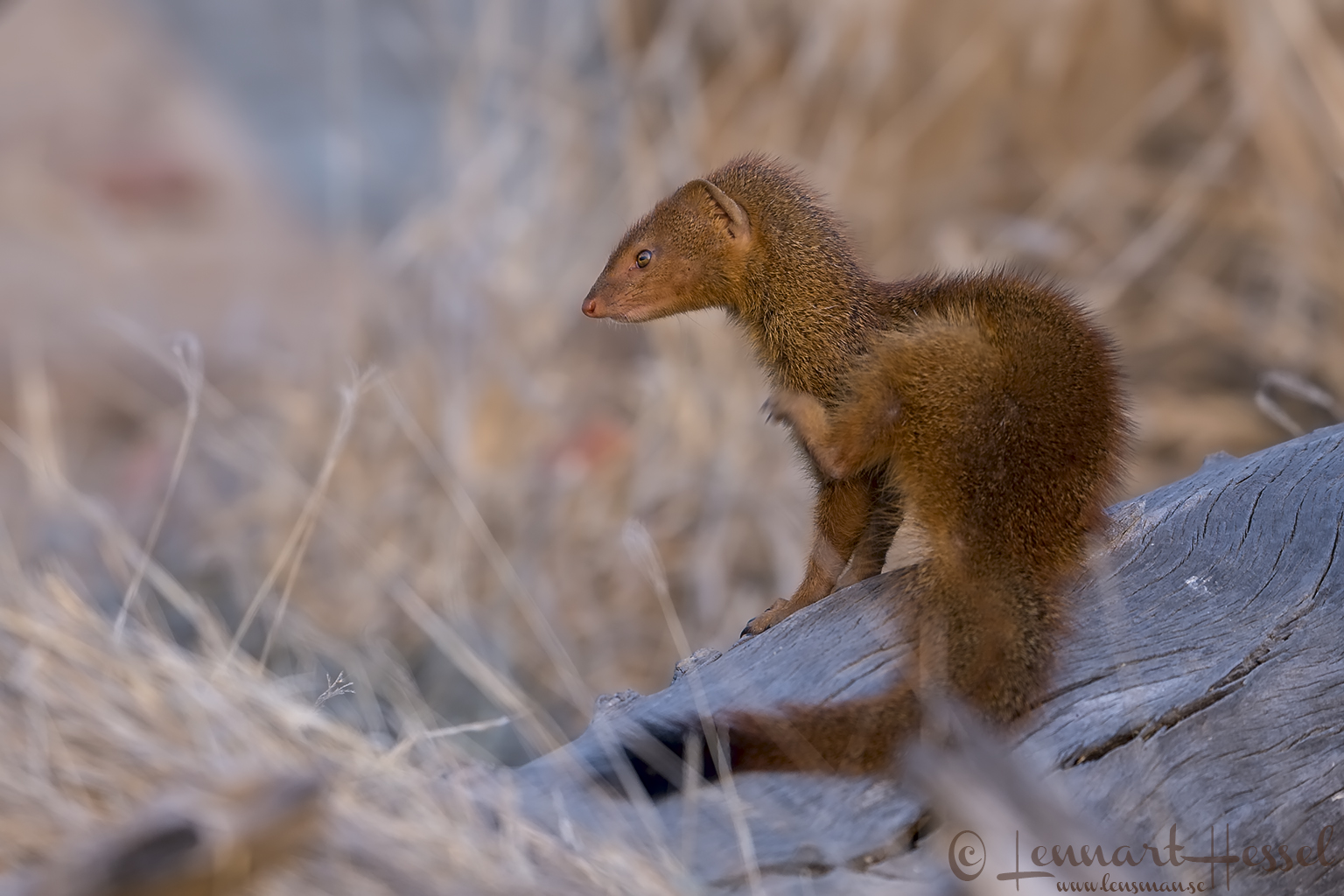 Slender Mongoose Mana Pools National Park
