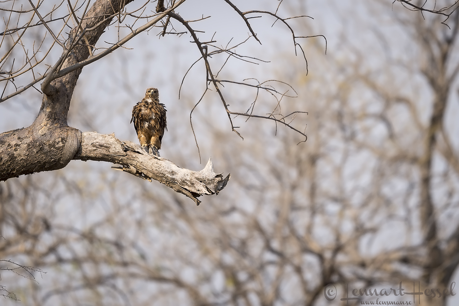 Tawny Eagle juvenile Mana Pools National Park