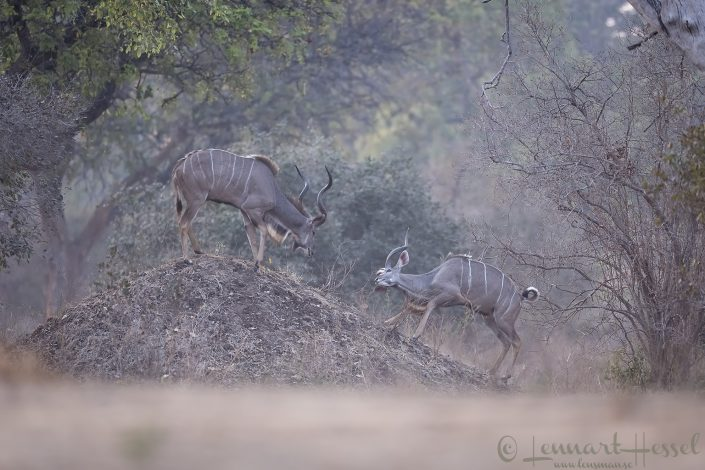 Kudu bulls fightig Mana Pools National Park