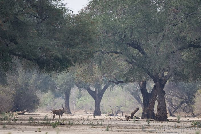 Eland at Ruckomecki Mana Pools National Park
