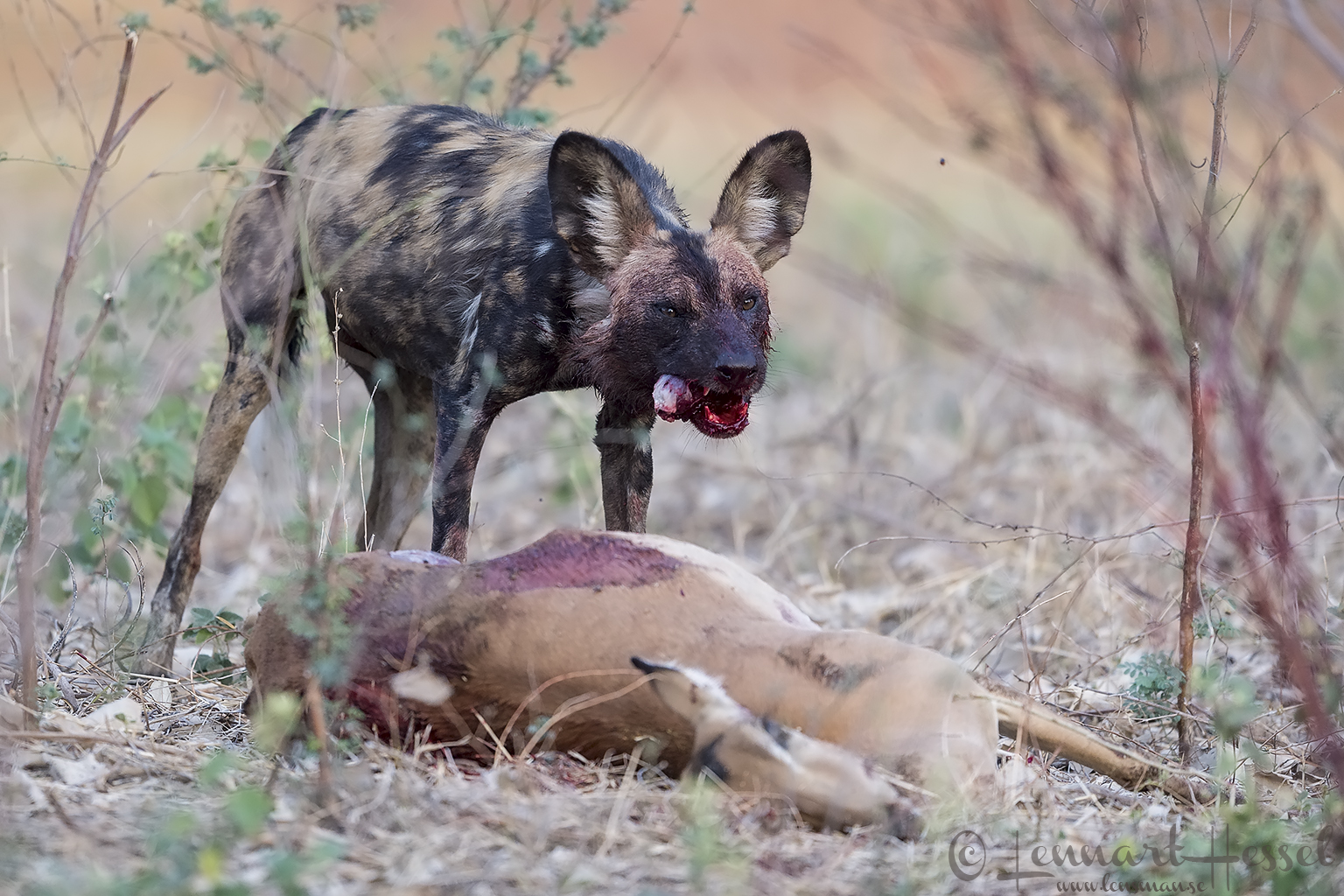 Painted Dog chewing hunt Mana Pools National Park