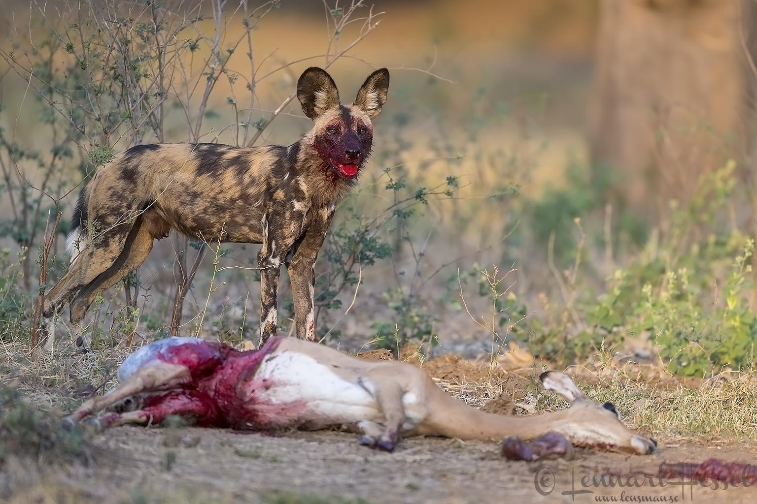 Painted Dog at kill hunt Mana Pools National Park