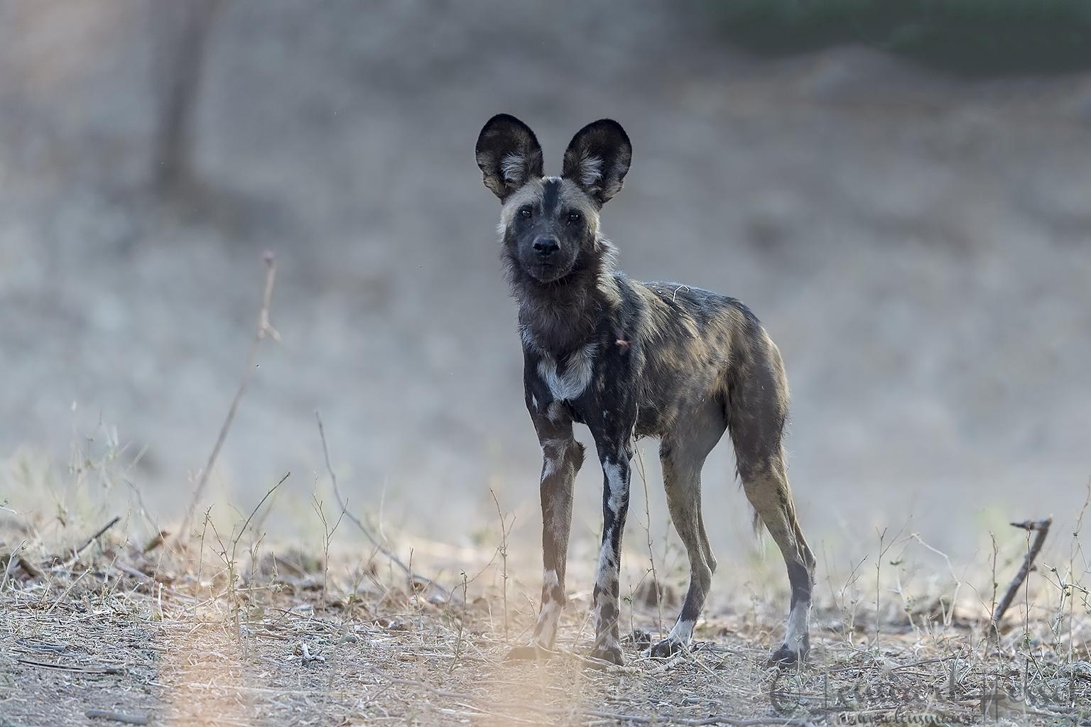 Painted Dog look hunt Mana Pools National Park