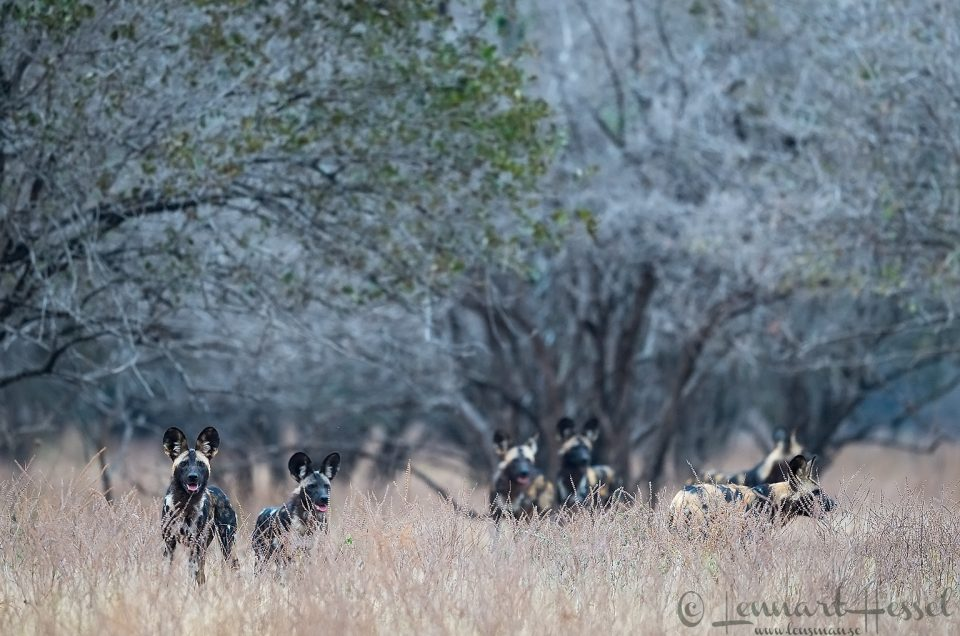 Painted Dog pack waiting Mana Pools National Park
