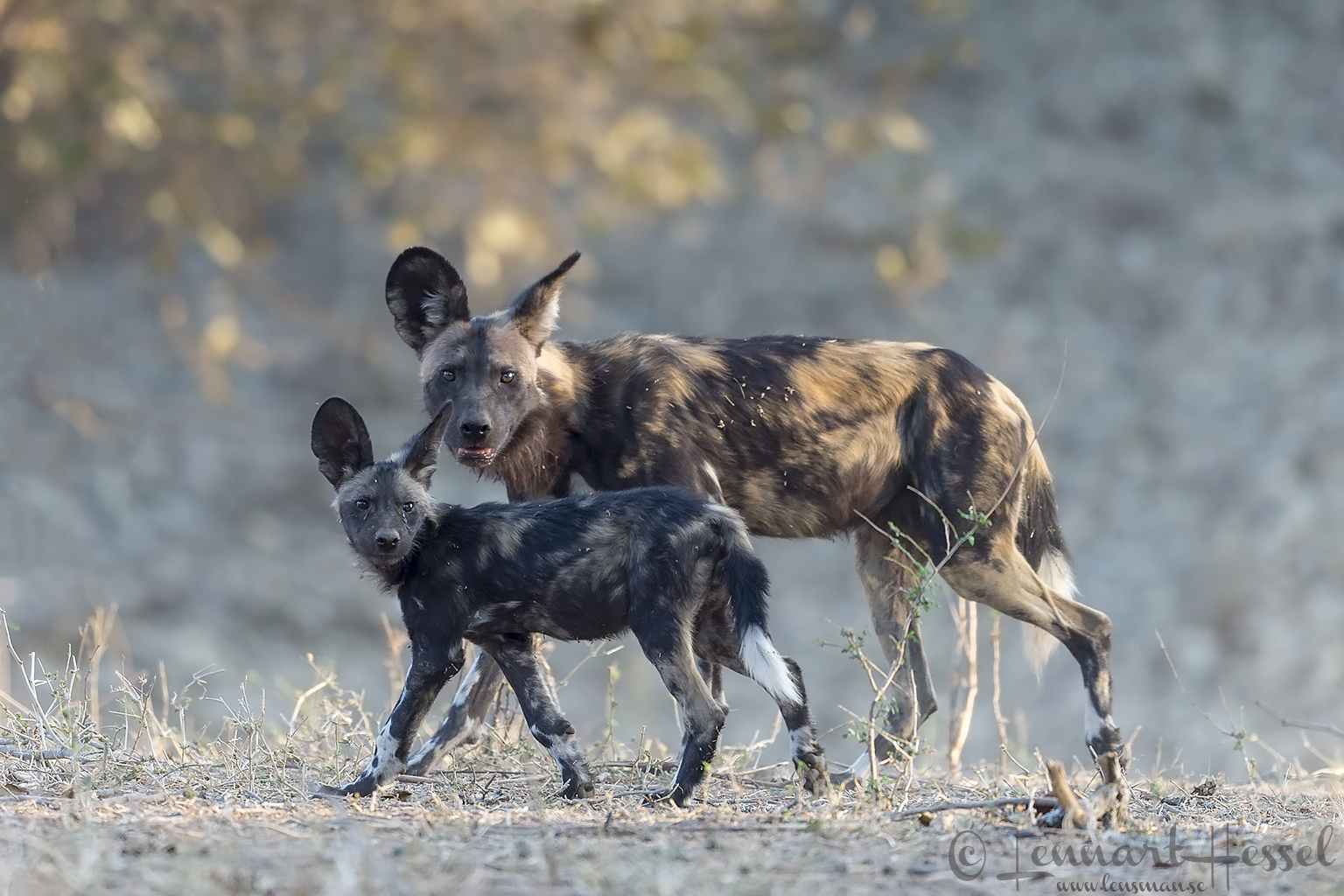 Painted Dog pup and adult Mana Pools National Park