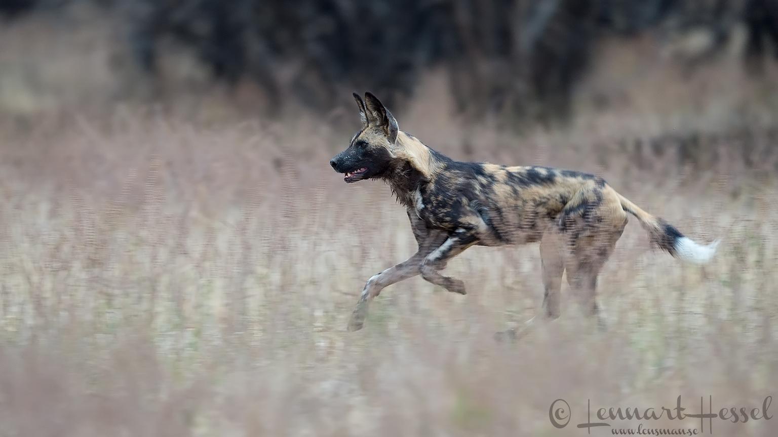 Running Painted Dog hunt Mana Pools National Park