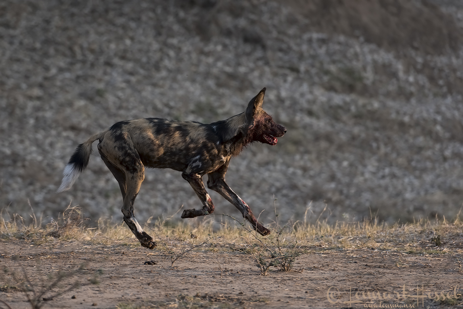 Painted Dog running hunt Mana Pools National Park