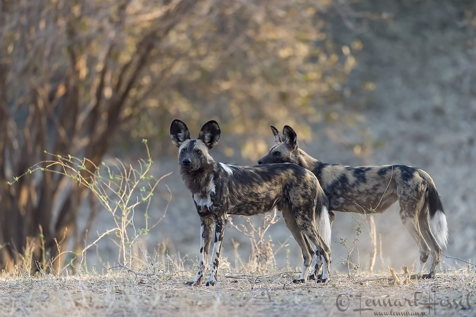 Painted Dogs. Mana Pools National Park