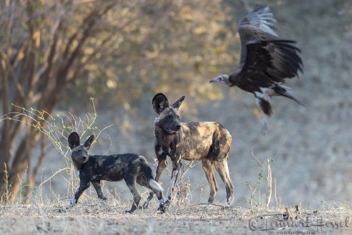 Painted Dog and Hooded Vulture hunt Mana Pools National Park