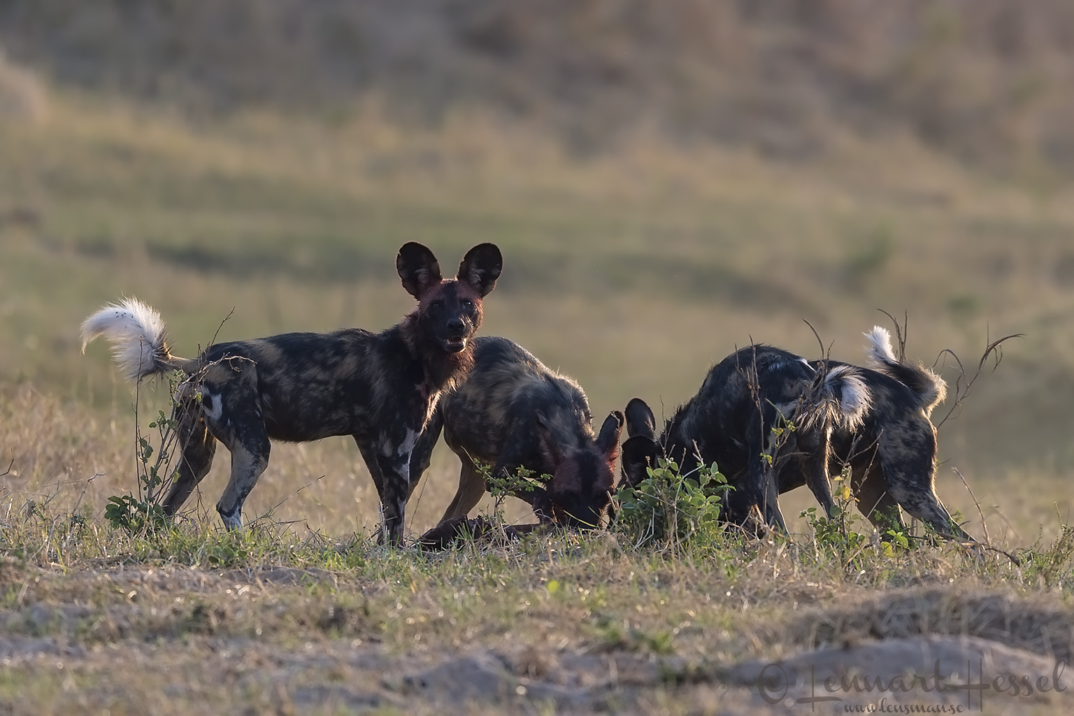 Painted Dogs at kill hunt Mana Pools National Park