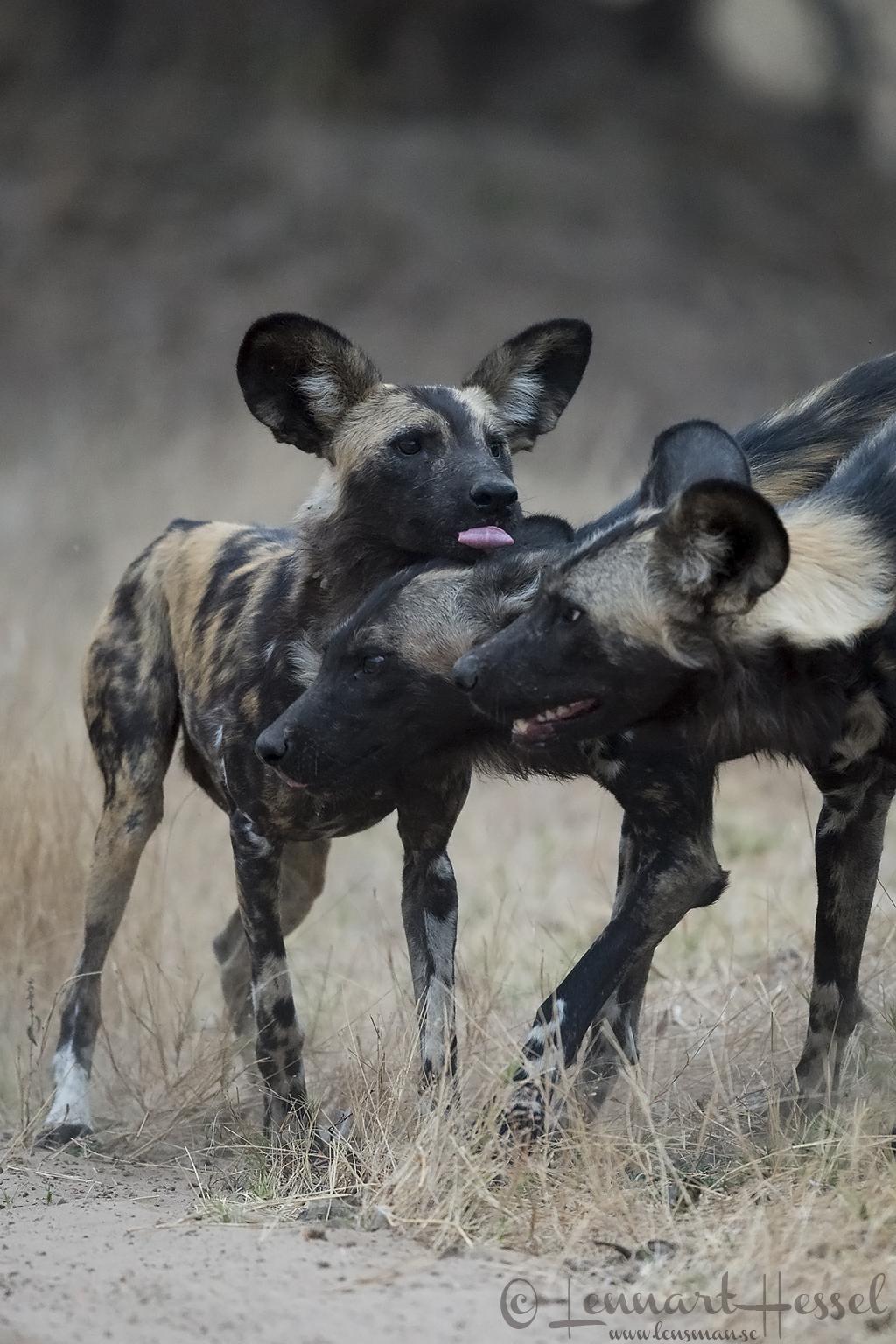 Painted Dog greetings hunt Mana Pools National Park