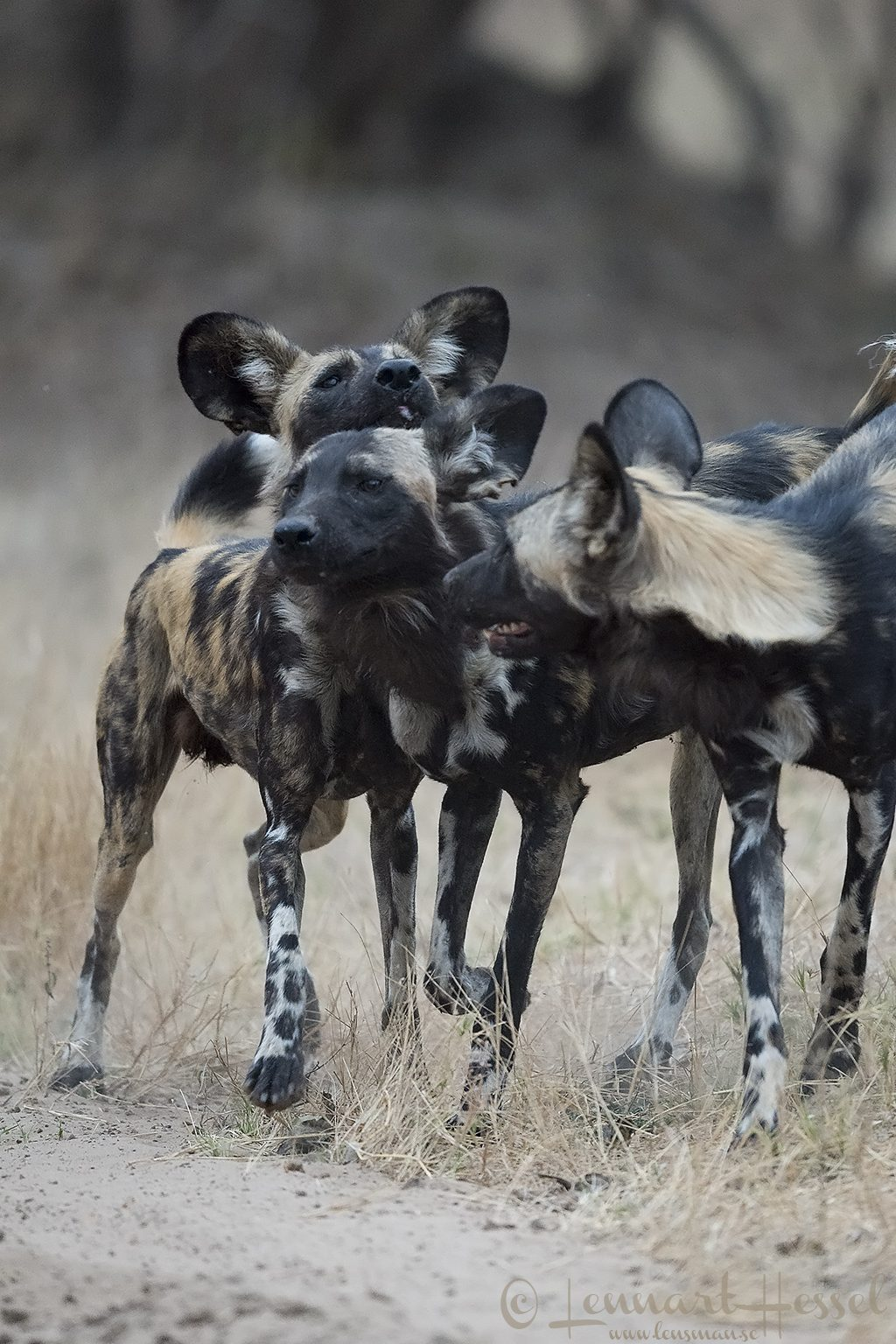 Painted Dog greeting. Mana Pools National Park