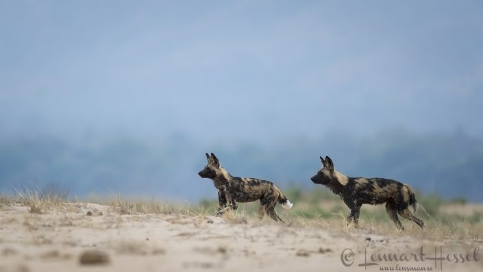 Painted Dogs on the floodplain Mana Pools National Park