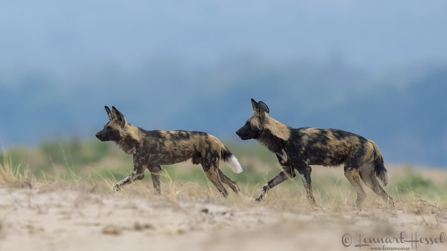 Painted Dogs n the floodplain hunt Mana Pools National Park