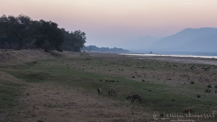 Spotted Hyenas on the floodplain hunt Mana Pools National Park