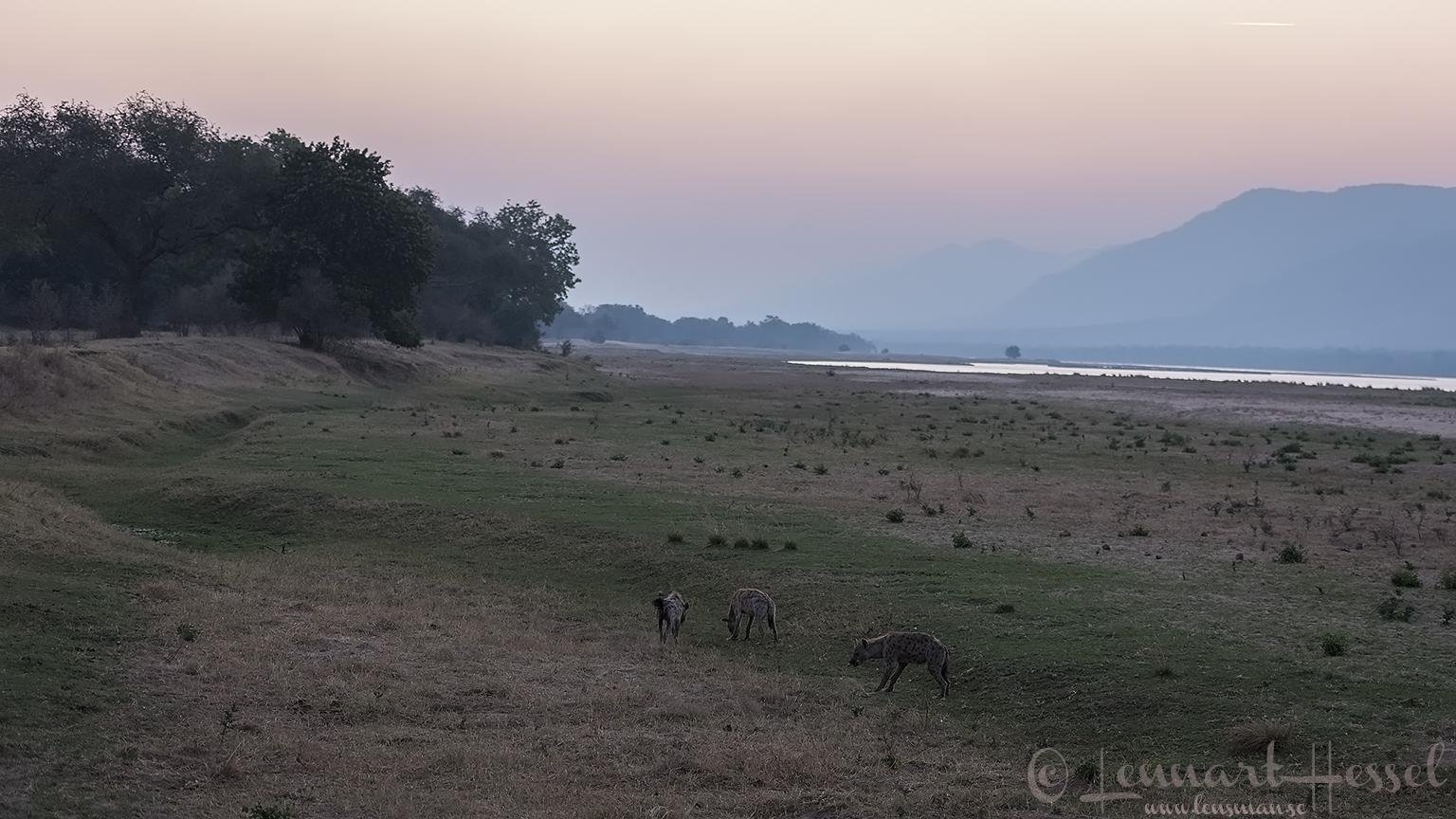 Spotted Hyenas on the floodplain hunt Mana Pools National Park
