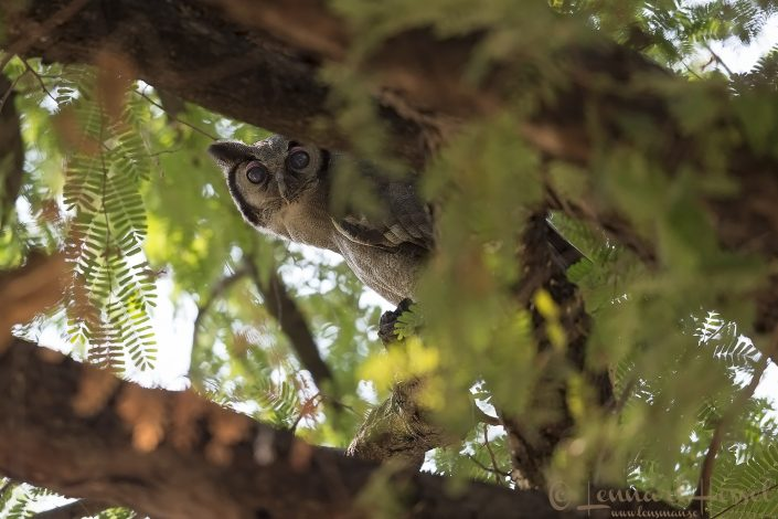 Verreaux's Giant Eagle-owl Mana Pools National Park