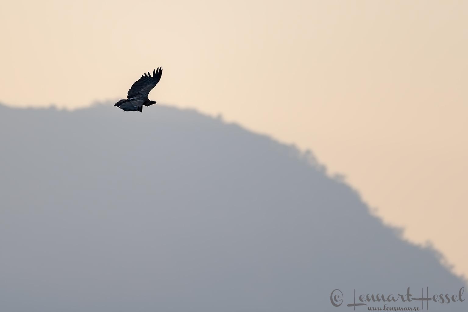 White-backed Vulture hunt Mana Pools National Park