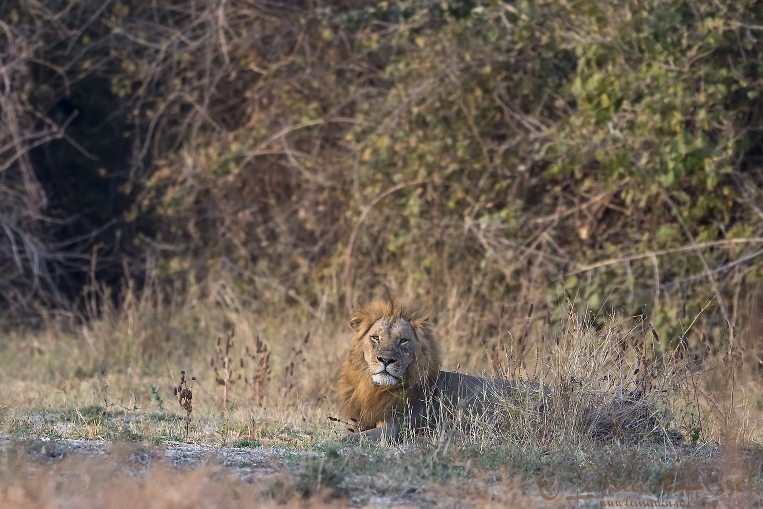 Male Lion Mana Pools National Park