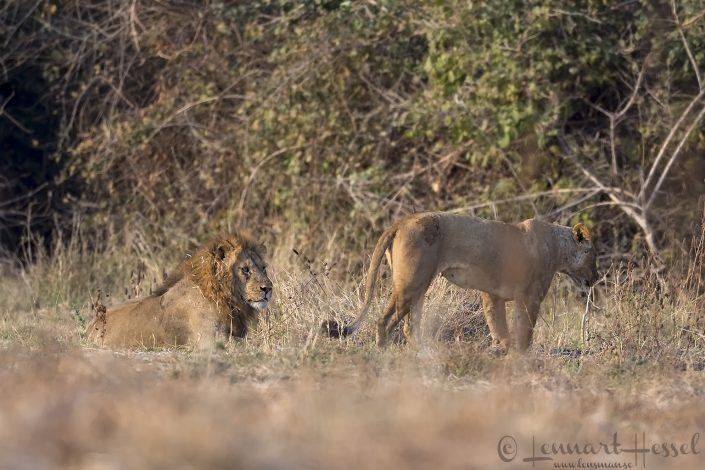 Lions Mana Pools National Park