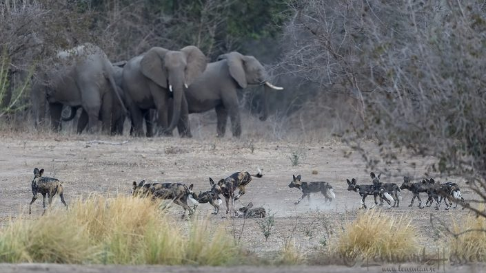 Painted Dogs and Elephant herd Mana Pools National Park