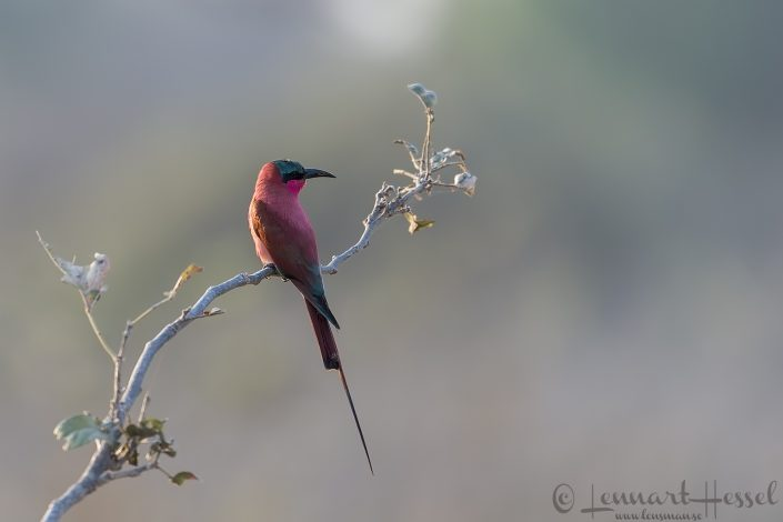 Southern Carmine Bee-eater Mana Pools National Park