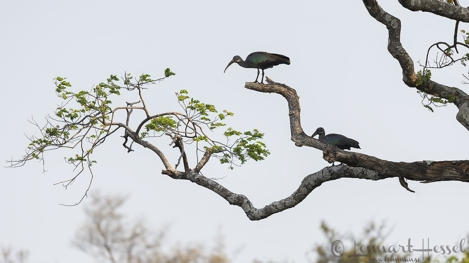 Hadeda Ibis Kafue National Park