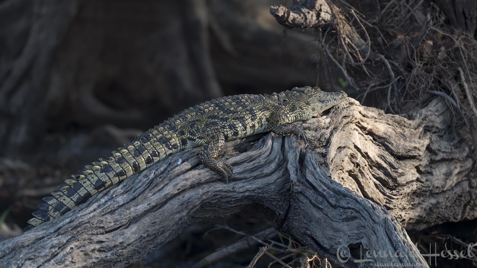 Nile crocodile Kafue National Park