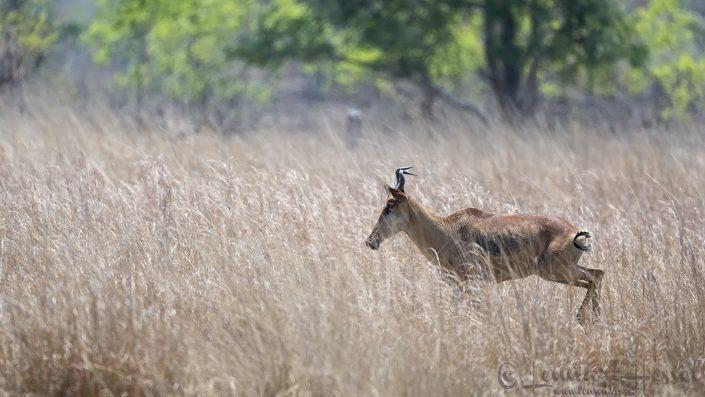 Lichtenstein's Hartebeest Kafue National Park