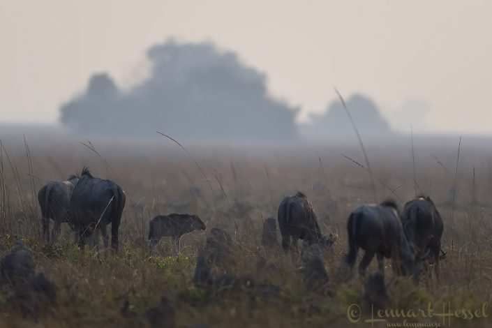 Blue Wildebeest Kafue National Park