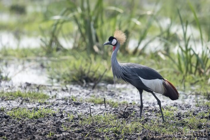 Grey crowned Cranes Kafue National Park