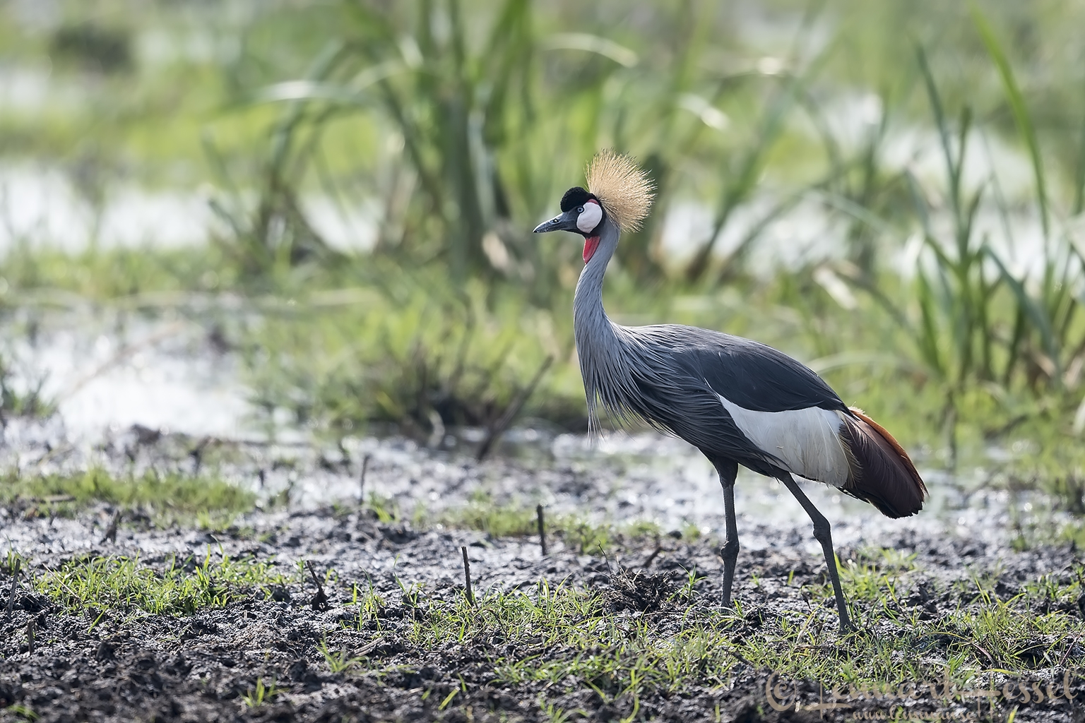 Grey crowned Cranes Kafue National Park