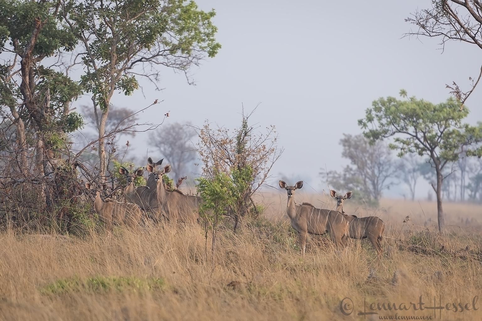 Kudu family Kafue National Park