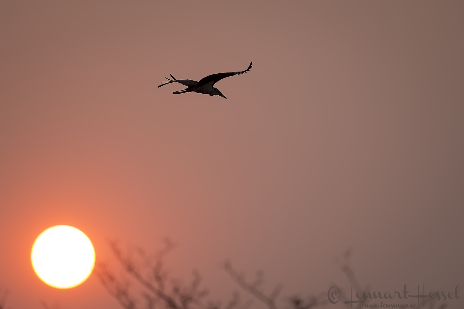 Marabou Stork at sunset Kafue National Park